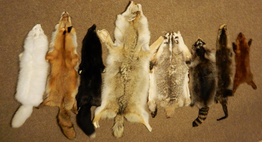 0eb20c52a14 The photo above shows a variety of wild Canadian fur pelts