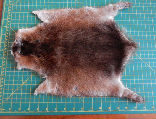 55b7f2e8d20 The muskrat (Ondatra zibethicus) is still common in many parts of Canada.  It has been used for trim on hats and mittens and gloves for a long time.