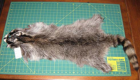 f34e76ab24a The raccoon (Procyon lotor) is common in some parts of Canada. It has been  used for fur hats and trim for a long time.