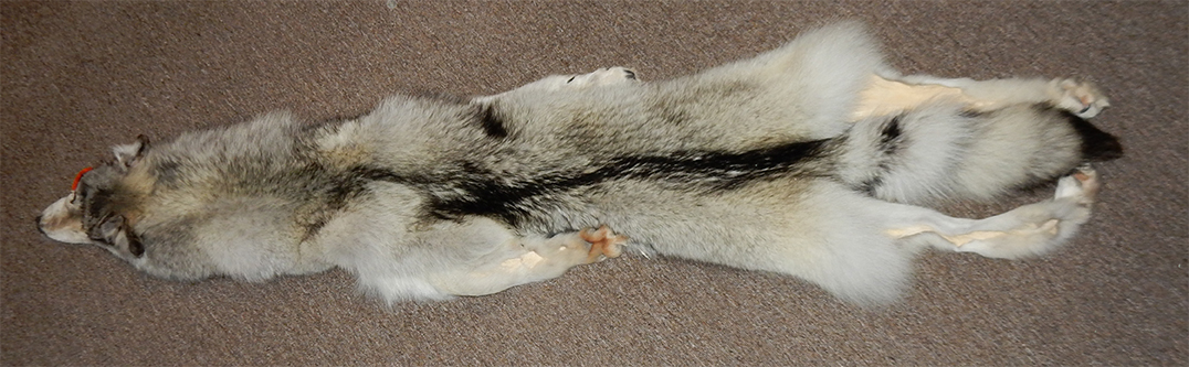 5720f3817a6 The wolf (Canis lupus) has many coat color variants. The wolf pelt above is  very striking because of the contrast between its pale and black hairs.